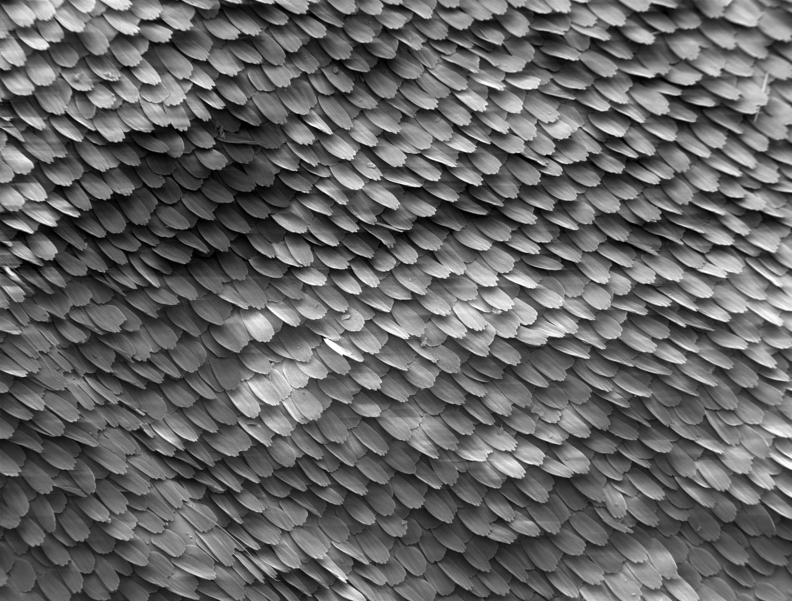 microscopic detail of Butterfly Wing