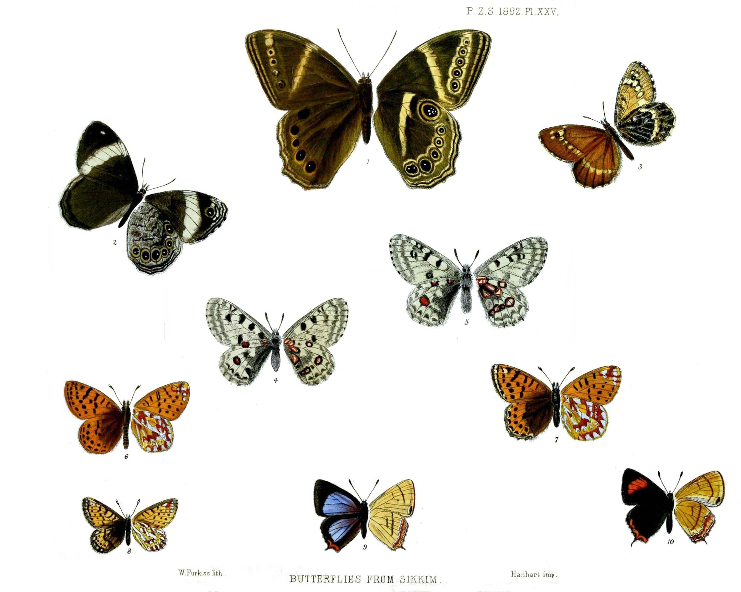 Butterflies from Sikkim Plate